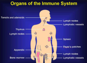 Human Immune System And Ways To Boost It